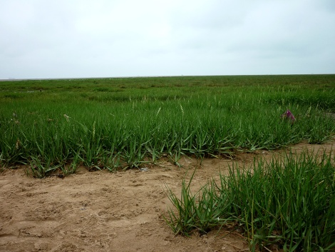 The saltmarsh stretching out into the Humber estuary