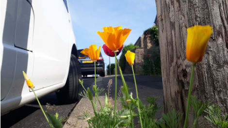 A California poppy on a suburban street